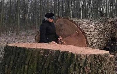 Представились коммунальщиками: в Киеве неизвестные срезали 17 вековых дубов
