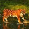 Южно-китайский тигр впервые родился за пределами Китая