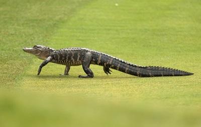 Житель Флориды украл аллигатора и пытался  преподать ему урок