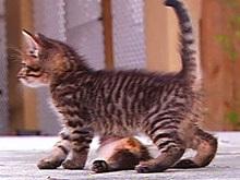 Хозяева шестилапого котенка из Флориды собирают деньги на операцию