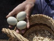 Курица-мексиканка несет зеленые яйца