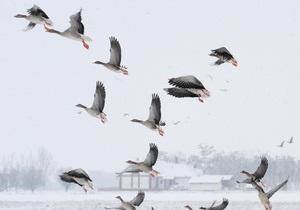 Ученые установили законы птичьих стай