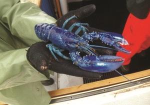 В честь принца Уильяма и Кейт Миддлтон назвали пару редких голубых омаров