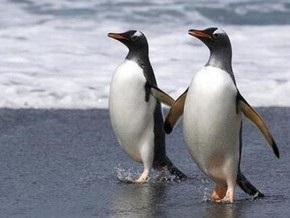 В китайском зоопарке пингвины- геи стали суррогатными отцами