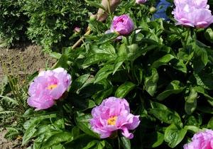 В Ботаническом саду высадили полсотни кустов пионов