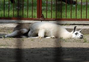 В киевском зоопарке назвали причину смерти ламы