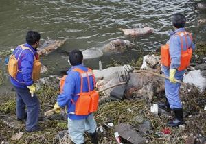 Из снабжающей Шанхай водой реки выловили уже более 7,5 тысяч мертвых свиней