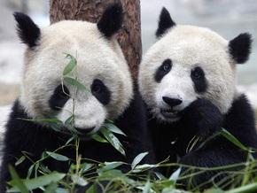 Ученые расшифровали геном большой панды