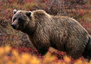 На Аляске медведь гризли загрыз туриста