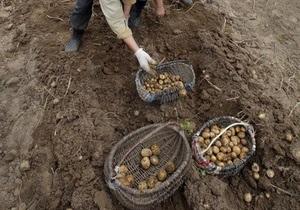 Урожай картофеля в Украине может стать рекордным - эксперты