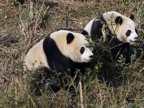 Китайские панды на Тайване теряют вес