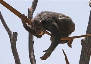 Ученые обнаружили у шимпанзе чувство справедливости