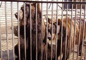 Власти свезут на Синевир всех медведей, которых содержат в ресторанах и  заставляют пить водку