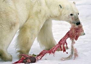 Экологи: Белые медведи становятся каннибалами из-за глобального потепления
