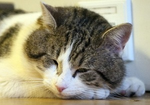 СМИ: Кот, нанятый премьером Британии для борьбы с крысами, игнорирует свои обязанности