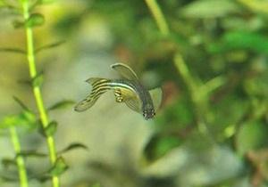 Биологам удалось редактировать геном рыб