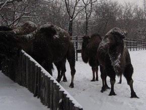 На украинской границе замерзают российские верблюды