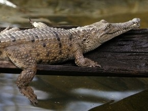 В одесском пруду поймали крокодила