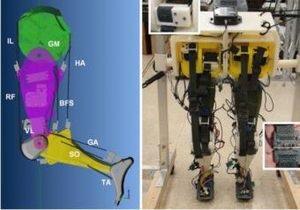 Ученые создали робота, воспроизводящего походку человека
