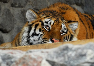 Сотрудник киевского зоопарка, на которого напал тигр, находится в реанимации в тяжелом состоянии