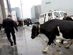 Фотогалерея: Брюссель забросали сеном и яйцами