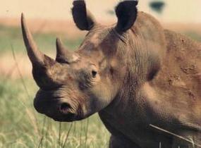Жители Непала отпугивают носорогов от своих жилищ ромашкой