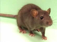 Белорус застрелил из ружья 44-сантиметровую крысу