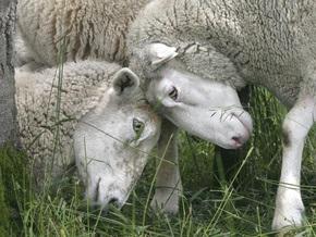 В США отару овец-газонокосильщиков продали с аукциона за 300 долларов