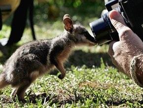 Австралийцы винят Россию в небывалом росте численности кенгуру