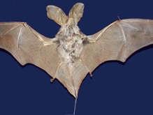 Палеонтологи обнаружили новые виды летучих мышей