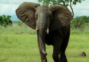 В Непале дикий слон убил 11 человек