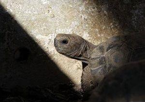 Новости Великобритании: Пережившая пятерых британских монархов черепаха стала жертвой садовой крысы