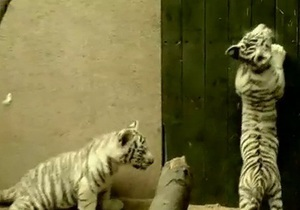 В чешском зоопарке родились белые тигрята