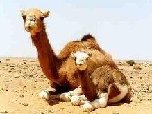 Киевский зоопарк пополнился верблюжонком