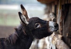 В итальянском городе нетрезвых водителей будут развозить на ослах