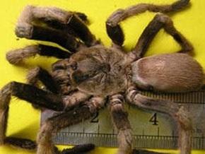Австралийский город наводнили гигантские пауки, один укус которых убивает собаку