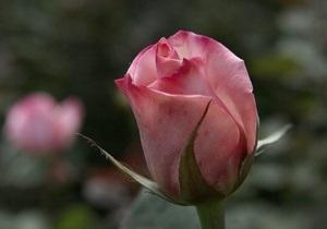 В киевском ботсаду цветут розы