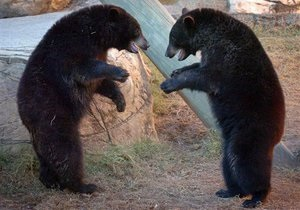 В Канаде конопляную ферму охраняли медведи