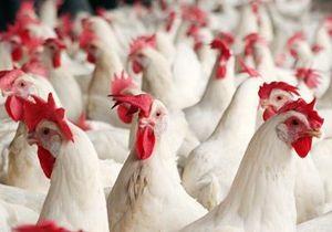 Во Франции истребители уничтожили пять тысяч кур