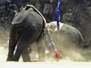 Таиландскую слониху, убившую семь человек, превратят в боевое животное