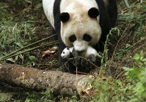 Китайские ученые представили новый метод, который позволит увеличить популяцию панд