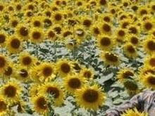 Загрязненное подсолнечное масло из Украины обнаружили в Швейцарии