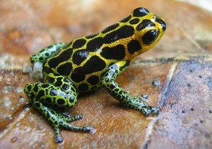 Ученые объяснили, почему перуанские ядовитые лягушки не изменяют друг другу