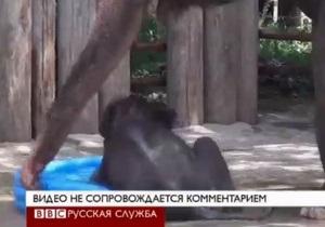 Слоненок спасается от жары в детском бассейне - видео