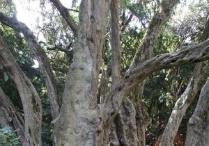 Самым старым деревом Украины признана 2000-летняя олива