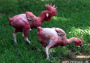 Британские ученые впервые в мире создали генномодифицированных кур, устойчивых к птичьему гриппу