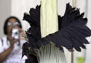 В Токио расцвел самый большой в мире цветок, который пахнет тухлым мясом