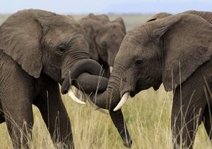 Африканские слоны нервничают из-за близости людей - ученые