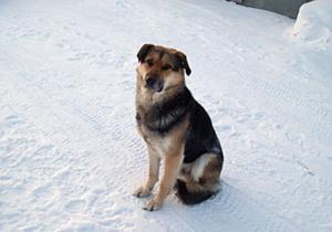 Российскому псу Хатико построят будку на месте гибели его подруги