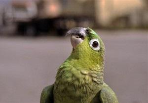 В Британии искоренят попугаев вида калита